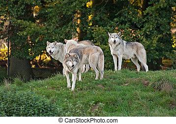 loup, meute