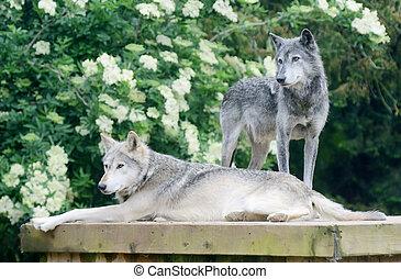 loups, deux