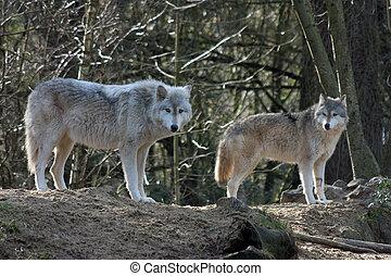 loups, gris