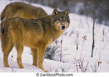 loups, neige