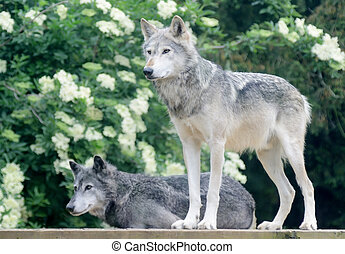 loups, paire