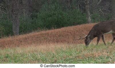 lourd, mâle, cerf, whitetail, pluie