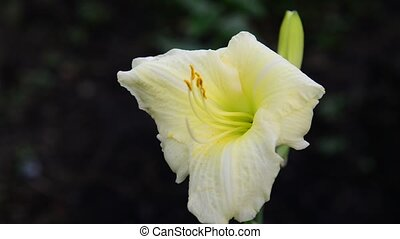 lumière, fleur, jaune, parterre fleurs, daylily