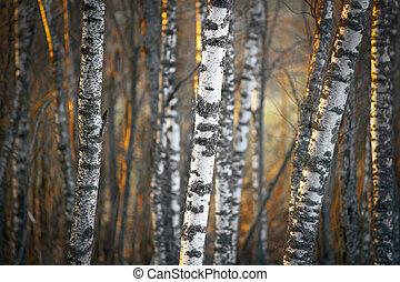lumière, soir, arbres, bouleau