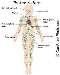 lymphatique, étiqueté, eps10, système