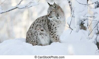 lynx, froid, petit, hiver, forêt, jeune