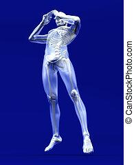 mâle, anatomie humaine, visualisation