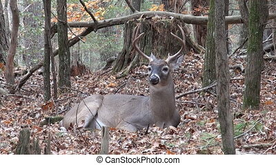 mâle, cerf, whitetailed, bedded