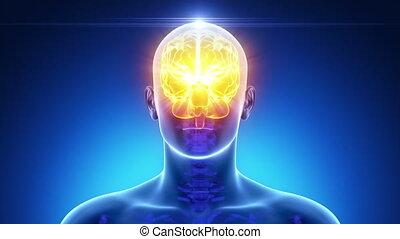 mâle, cerveau, monde médical, anatomie, balayage