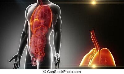 mâle, détaillé, -, vue, anatomie, organes