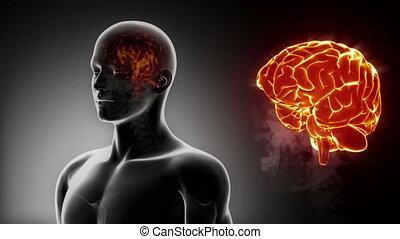 mâle, détaillé, -, vue, cerveau, anatomie