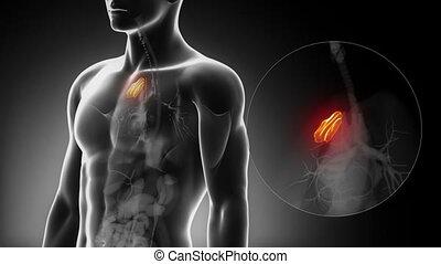 mâle, détaillé, -, vue, thymus, anatomie