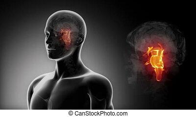 mâle, détaillé, -, vue, tige cerveau