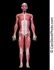 mâle, entiers, système, figure, devant, vue., corps, musculaire, humain