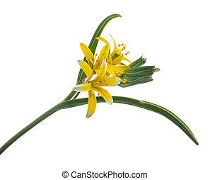 médicinal, gagea, lutea, plant: