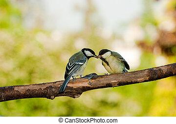 mésange, grand, nourrir oiseaux