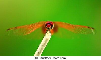 métrage, darter, libellule, insecte, écarlate, rouges