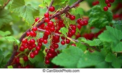 mûre, baies, groseille, rouges, buisson
