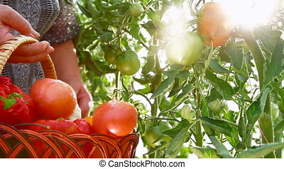 mûre, tomate, potager