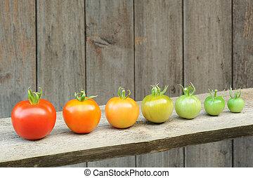 mûrir, processus, fruit, tomate, étapes, -, évolution, développement, rouges