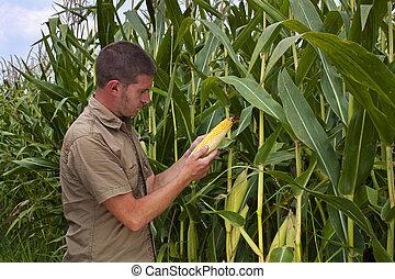 maïs, récolte, inspection, paysan