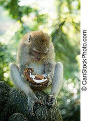 macaque, noix coco