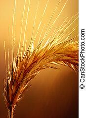macro, blé