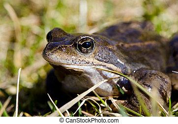 macro, closeup, amphibie, mouillé, grenouille, oeil, animal