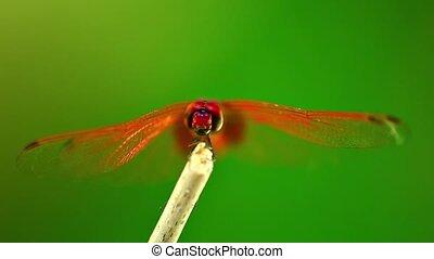 macro, métrage, darter, libellule, insecte, écarlate, rouges
