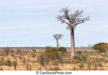 madagascar, baobab, jour ensoleillé, arbres
