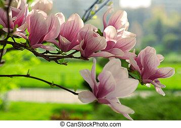 magnolia, branche, fleurir
