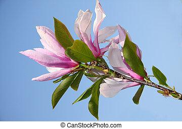 magnolia, branche