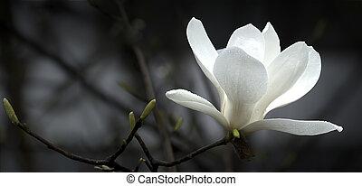 magnolia, fleur