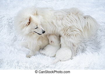 maman, nourrit, poitrine, chien, élevage, race, chiens, lait, spitz., puppies., japonaise