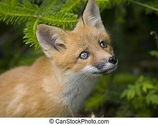 mammifère, g, renard rouge