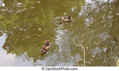 mandarin, mâle, canard