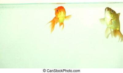 manger, deux, poisson rouge