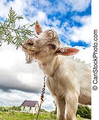 manger, pré, vert, portrait, herbe, chèvre