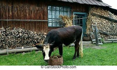 manger, rural, vache