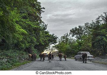marche, caucase, vaches, forêt troupeau, route, azerbaïdjan, garçon, gakh, cars.