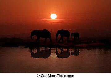 marche, coucher soleil, 3, famille, éléphants
