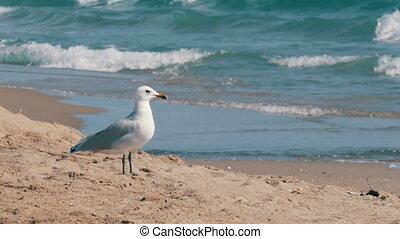 marche, sable, rivage, mer, vagues, mouette