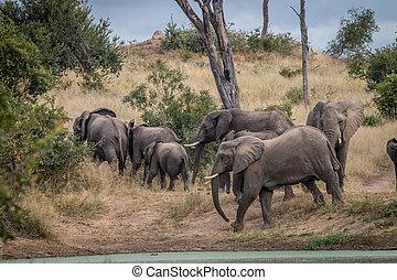 marche, troupeau, grass., éléphants