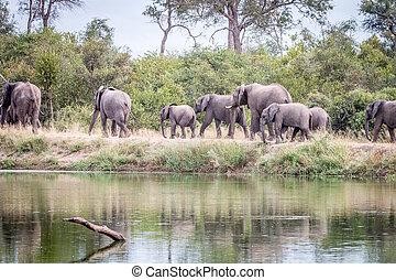 marche, troupeau, road., éléphants