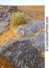 maroc, buisson, désert, fossile, vieux