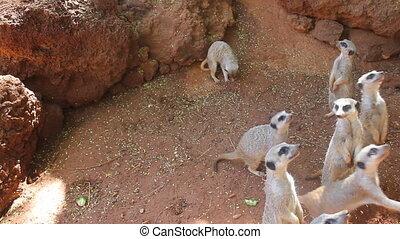 meerkats, affamé