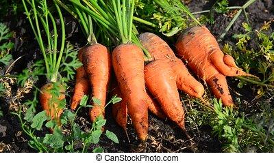 mensonge, carotte, jardin, récolte, terrestre