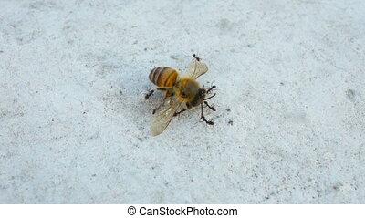 miel, porter, fourmis, abeille