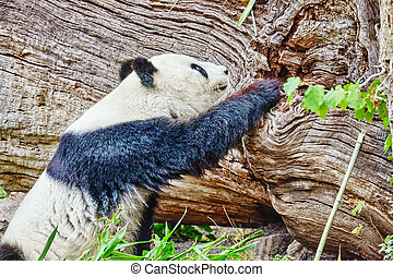 mignon, autour de, nature, ours, den., promenades, panda