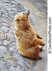 mignon, bear., brun